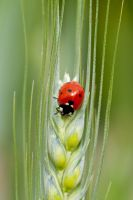 ladybug of the day by helldrad