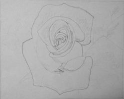 WIP1:  Rose in Graphite Pencil 11/27/2012 by ChrisDutton
