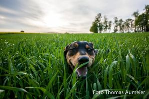 my dog at cornfield by Bastlwastl84