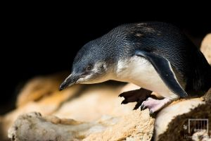 Little Penguin by RunLikeATortus