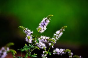 Mint Flowers by Delta406