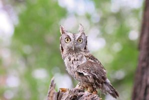 Elsa the Screech Owl by LorreesWorld