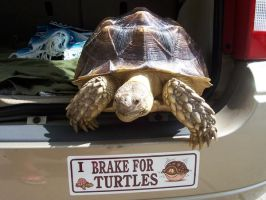 I Brake for Turtles by LacunaCobra