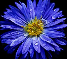 aster after rain by redvalkyrie000