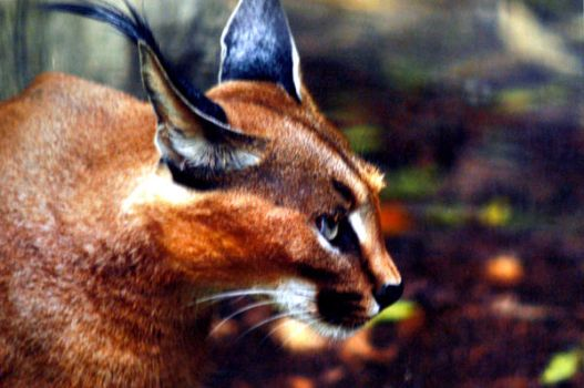 Caracal by spineglue