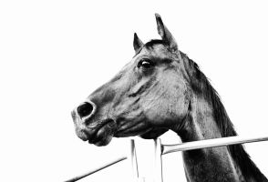 Unknown Horse Stock by JSF1