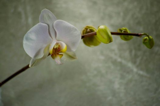 Orchid Bloom 2 by Art-Photo