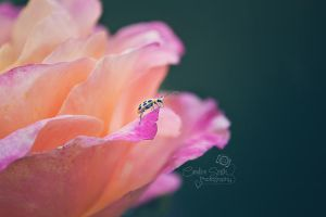 On a Rose by CandiceSmithPhoto