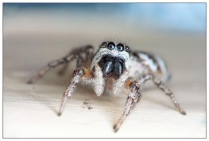 Jumping spider by EdwinBont