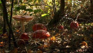 Amanita Muscaria Group in Beautiful Autumn Setting by Danimatie