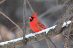 Northern Cardinal 16 by Gerryanimator