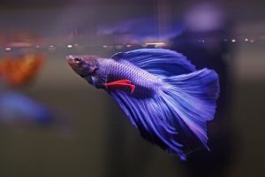 Betta at feeding time by magicia