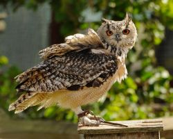 Bengal Eagle Owl. by quaddie