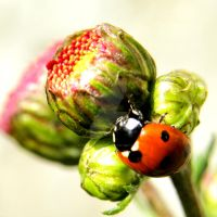The Ladybug IV... by EternityRaven