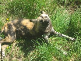 African Wild Dogs3 by SecretPoet17