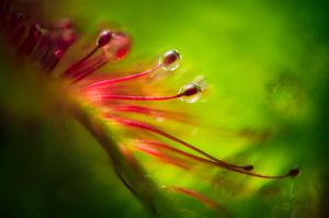 Drosera Glands by JoniNiemela
