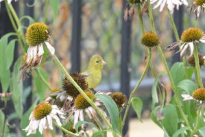 A Visitor In the Cone Flowers, Gold Finch Side Pro by Miss-Tbones