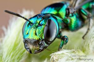 Metallic bee by ColinHuttonPhoto