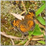 Pearl Crescent - Confirmed by em12870