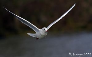 Gull Flight by Slinky-2012