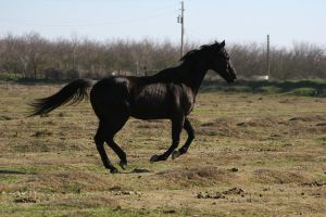 Black Thoroughbred Gelding at Liberty by HorseStockPhotos