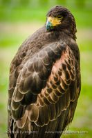 Golden Eagle by Rustyoldtown