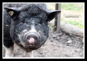 black Pig by declaudi