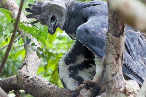 Harpy Eagle by secondclaw