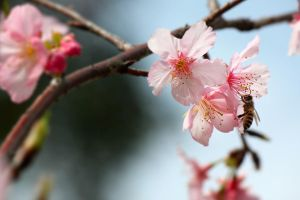 Cherry blossoming by johnchan
