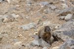 Marmot by bowtiephotography