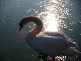 Swan in the sunlight by Tigzzz