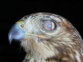 Nictitating eyelid of Red-Tail by redtailhawker