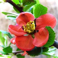 Chaenomeles japonica by Paul774