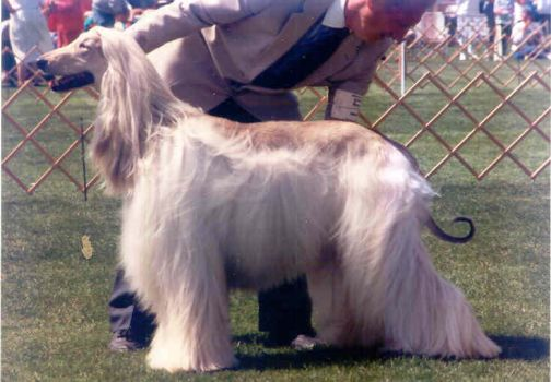 dog show photos afghan hound 5 by DarkwolfeAlpha