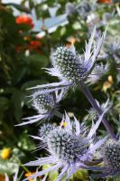 Blue Thistle by GreenEyezz-stock