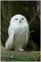 Snow Owl by Salvas