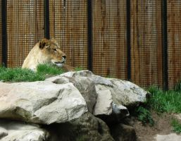 Lion 8 -- Aug 2009 by pricecw-stock
