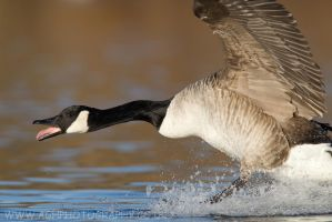 Canada Goose by Albi748