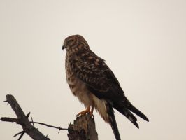 Northern Harrier by Glacierman54