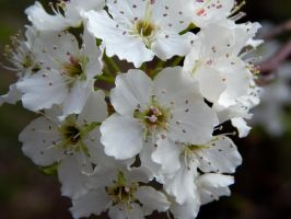 Bradford Pear Cluster by superSeether