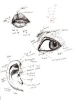 Anatomy- Eye, Lip, Ear 1 by tatsumakichan