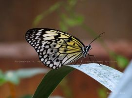 .white tree nymph butterfly. by Foozma73