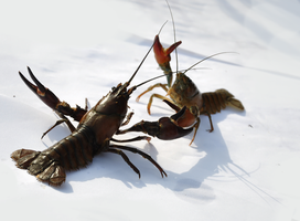 Crayfish in a fight by karlvandal-stock