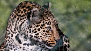Leopard by DreamArts-Photo