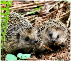 hedgehogs by KariLiimatainen