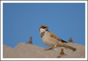 Sparrow On The Roof by sanwahi