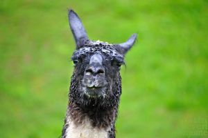 Wet lama by brijome