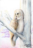 Lapland Owl by yohunny