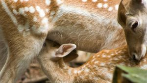 Maternal Deer Widescreen by MichelLalonde