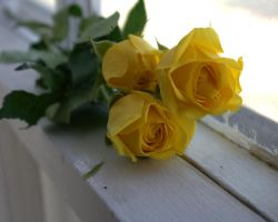 Sweet Yellow Roses by SummerStar367